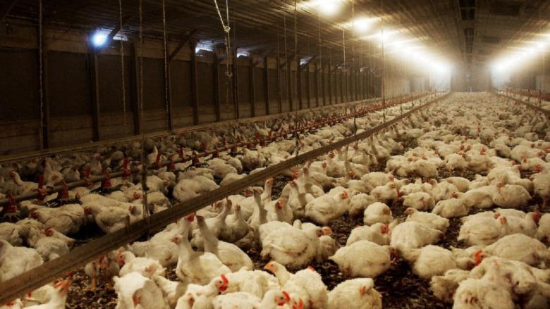 Chickens in Rotten